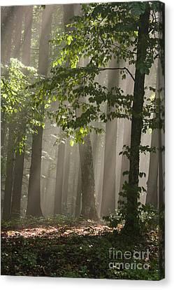 Forest Canvas Print by Odon Czintos