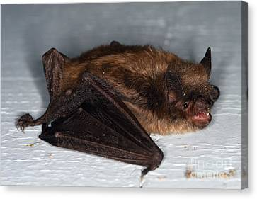 Little Brown Bat Canvas Print by Ted Kinsman