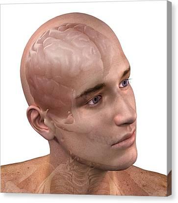 Head Anatomy, Artwork Canvas Print by Sciepro