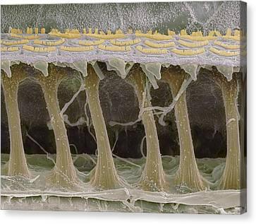 Inner Ear Hair Cells, Sem Canvas Print by Steve Gschmeissner