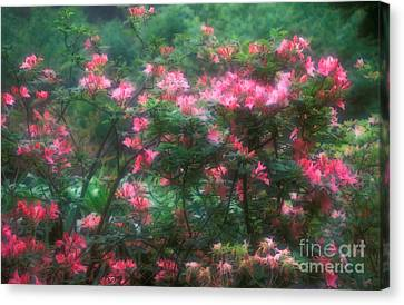 152-3 Rhododendrons-pink-blooming Canvas Print