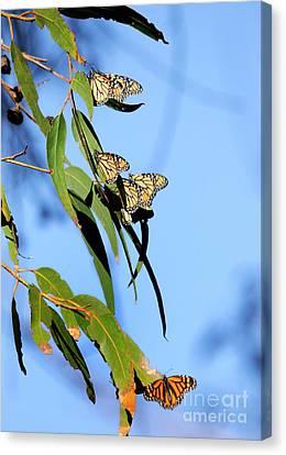Butterflies Canvas Print by Marc Bittan