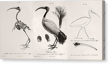 1812 Egyptian Ibis & Cuviers Evolution Canvas Print