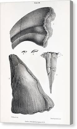 1833 Iguanodon Mistaken Spike Horn Fossil Canvas Print by Paul D Stewart