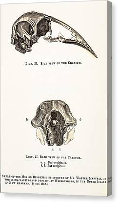 1851 Dinornis Moa Skull Discovery Canvas Print by Paul D Stewart