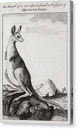 18th Century Engraving Of A Kangaroo Canvas Print by Middle Temple Library
