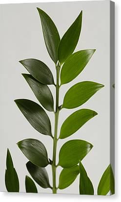 A Cocculus Plant Cocculus Laurifolius Canvas Print by Joel Sartore