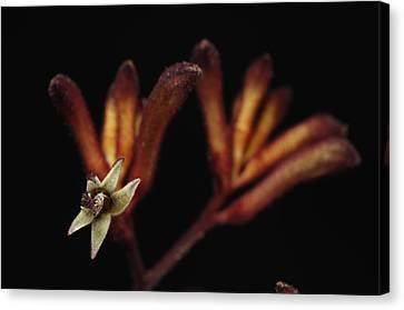 A Kangaroo Paw Plant Anigozanthos Canvas Print by Joel Sartore