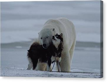 A Polar Bear Ursus Maritimus Canvas Print by Norbert Rosing