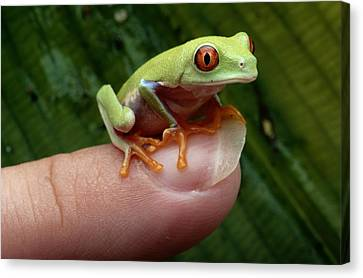 A Red-eyed Tree Frog Agalychnis Canvas Print by George Grall