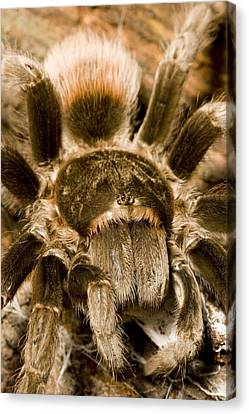 A Tarantula Living In Mangrove Forest Canvas Print