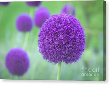 Allium Hollandicum Canvas Print by Roberto Morgenthaler