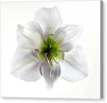 Amaryllis Canvas Print by Jane Rix