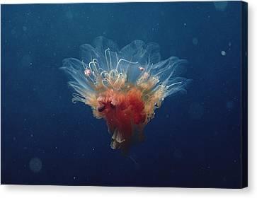 Arctic Jellyfish Off Baffin Island Canvas Print