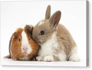 Cavy Canvas Print - Baby Rabbit And Guinea Pig by Mark Taylor