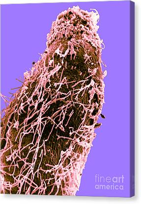 Bacteria On Sorghum Root Tip Canvas Print by Science Source