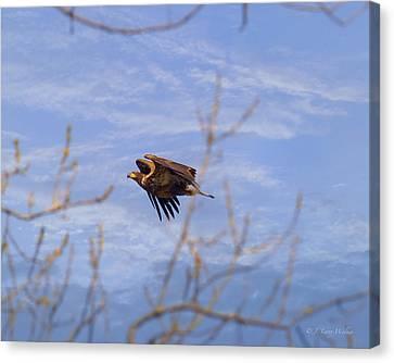 Bald Eagle - Immature Canvas Print by J Larry Walker