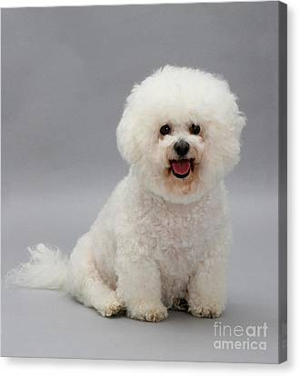 Bichon Frise Canvas Print by Jane Burton