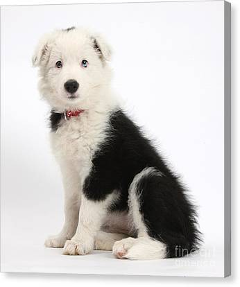 Border Collie Pup Canvas Print by Mark Taylor
