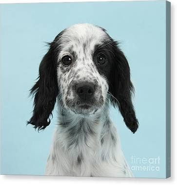 Border Collie X Cocker Spaniel Puppy Canvas Print by Mark Taylor