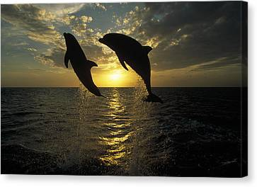 Bottlenose Dolphin Tursiops Truncatus Canvas Print by Konrad Wothe