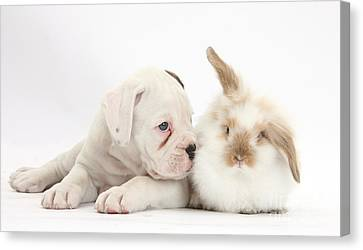Boxer Puppy And Young Fluffy Rabbit Canvas Print by Mark Taylor