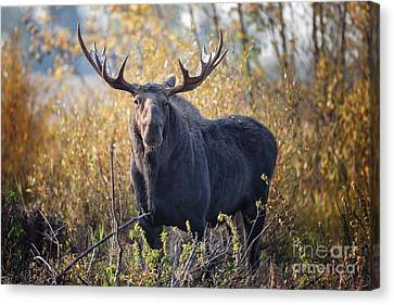Bull Moose Canvas Print by Ronald Lutz