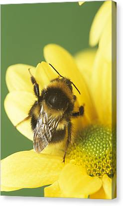 Bumble Bee Pollinating A Flower Canvas Print by David Aubrey