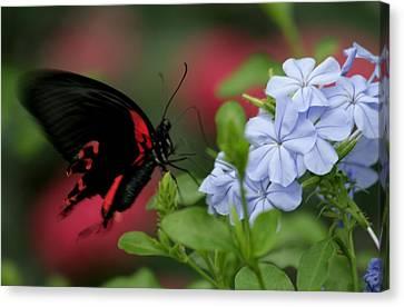 Butterfly Beauty Canvas Print by Valia Bradshaw