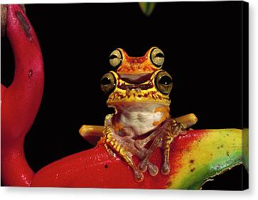 Chachi Tree Frog Hyla Picturata Pair Canvas Print by Pete Oxford