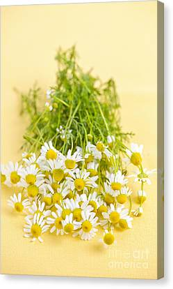 Chamomile Flowers Canvas Print by Elena Elisseeva