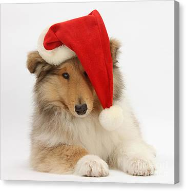 Christmas Collie Canvas Print by Mark Taylor