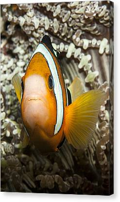 Clark's Anemonefish Canvas Print by Lea Lee