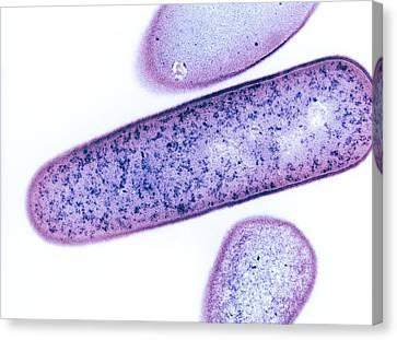 Clostridium Difficile Bacteria, Tem Canvas Print