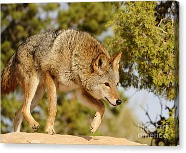 Coyote Hunting Canvas Print by Dennis Hammer