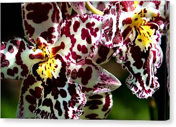Cribet Exotic Orchids Canvas Print by C Ribet