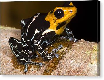 Crowned Poison Frog Canvas Print by Dante Fenolio