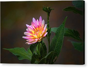 Dalia Canvas Print by Rick Friedle