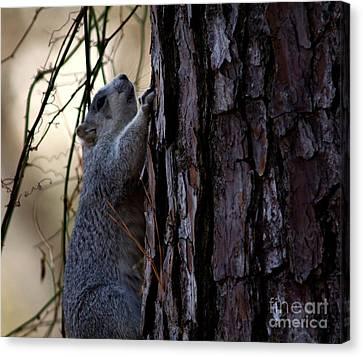 Delmarva Fox Squirrel Canvas Print by Ursula Lawrence