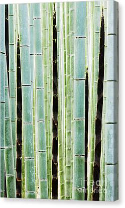 Detail Of Bamboo In A Forest Canvas Print