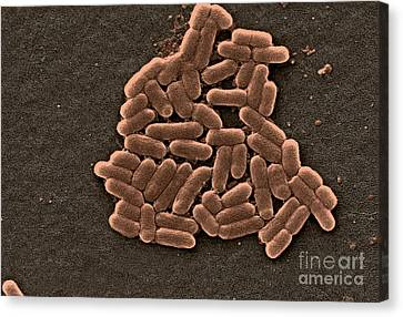 Microscopic Organism Canvas Print - Escherichia Coli O157h7 Bacteria, Sem by Science Source