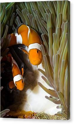 False Clown Anemonefish Canvas Print by Georgette Douwma
