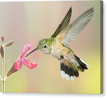 Female Broadtail Hummingbird Canvas Print by Gregory Scott