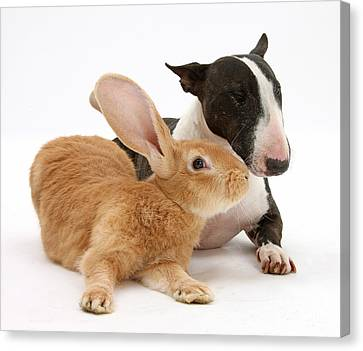 Flemish Giant Rabbit And Miniature Bull Canvas Print