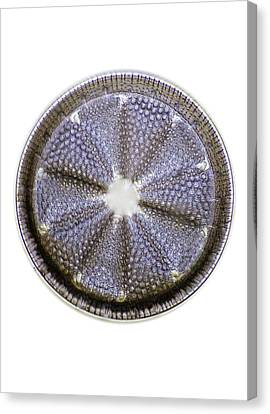 Fossil Diatom, Light Micrograph Canvas Print by Frank Fox