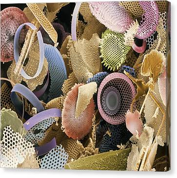 Fossilised Diatoms, Sem Canvas Print by Steve Gschmeissner