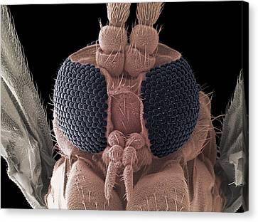 Fungus Gnat Head, Sem Canvas Print