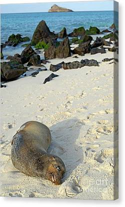Galapagos Sea Lion Sleeping On Beach Canvas Print by Sami Sarkis