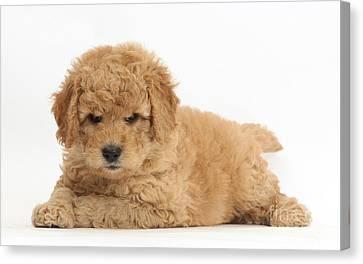 Goldendoodle Puppies Canvas Print