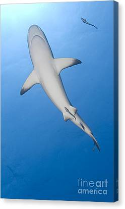 Gray Reef Shark With Remora, Papua New Canvas Print by Steve Jones